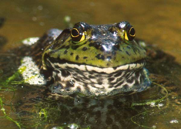 Threats to Amphibian Populations of South Florida   The Croc Docs