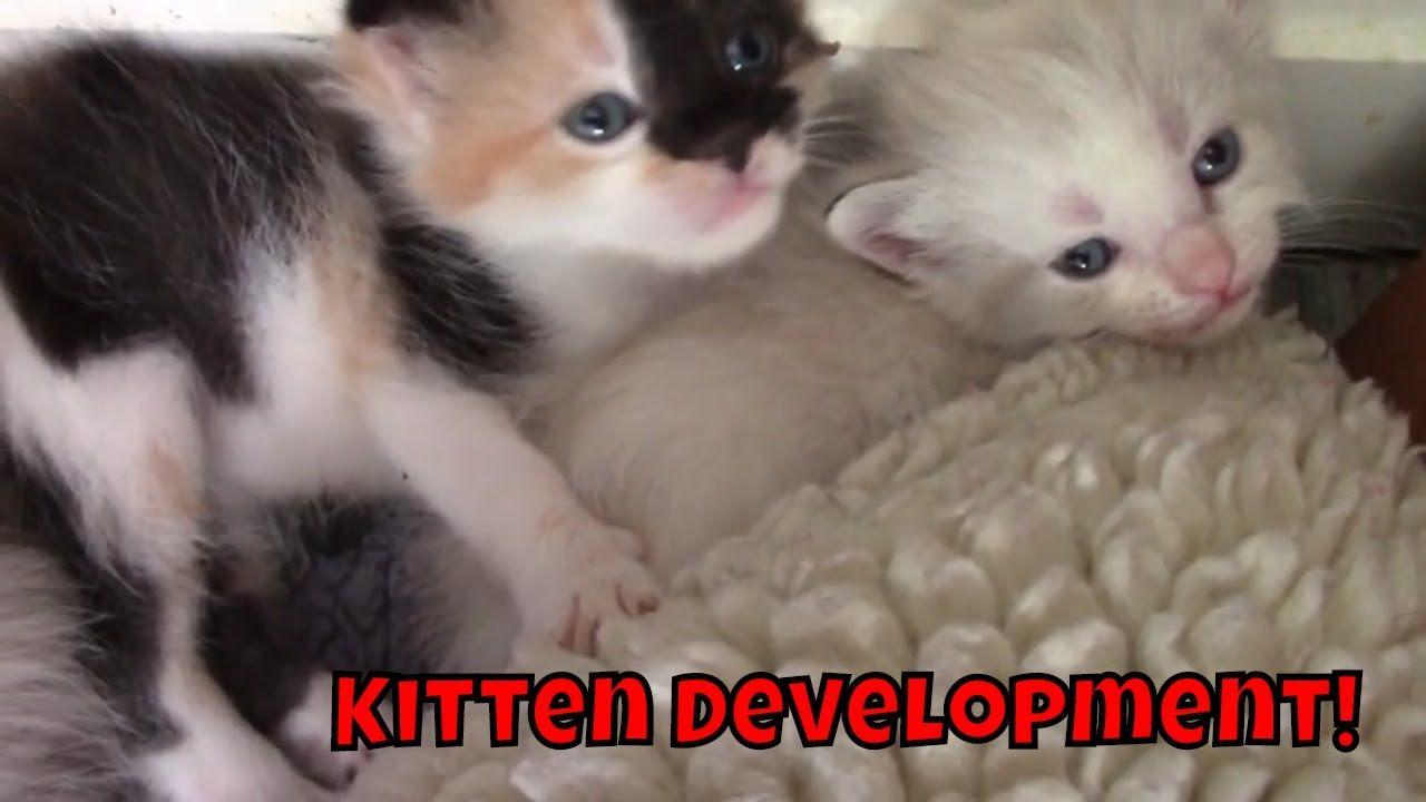 Kitten Development 3 Weeks Old Cute Kitten Gif Kittens Cutest Kitten Gif