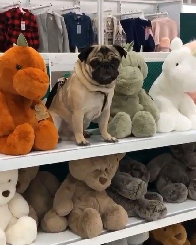 pug-crazy.com