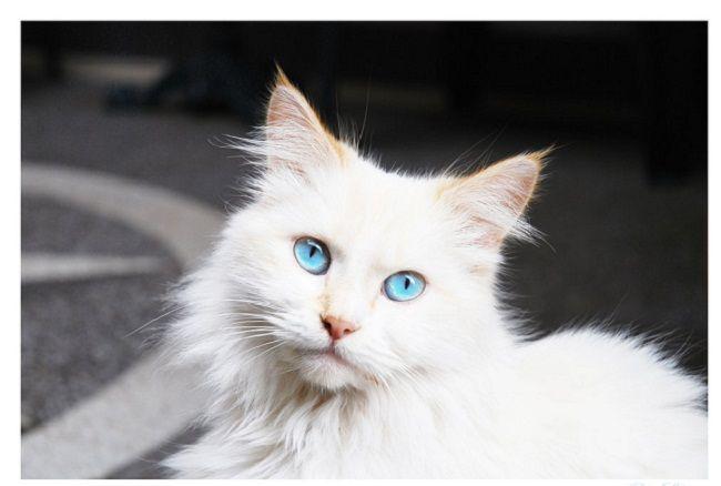 White Cat Blue Eyes Breed Water Sky