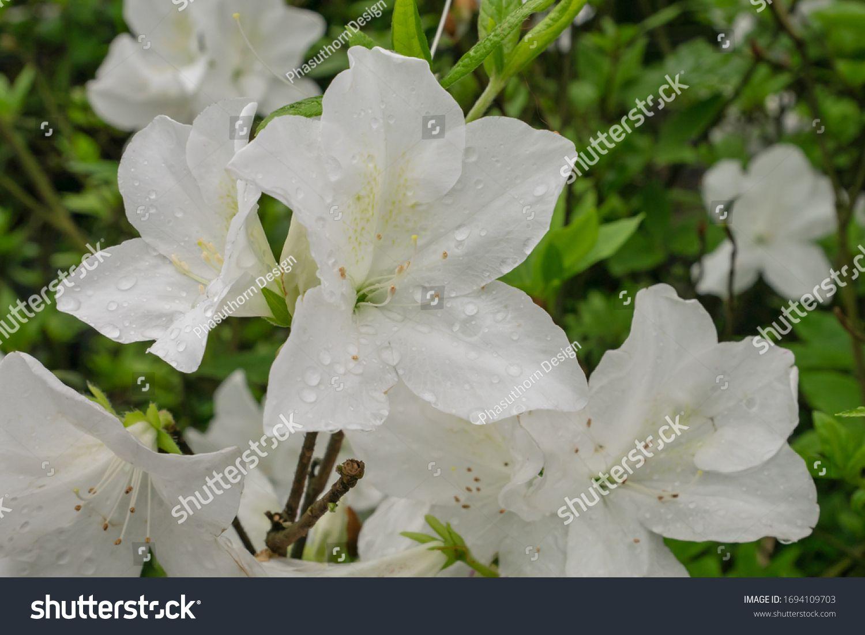 Close Beautiful White Azalea Flower Plant Stock Photo