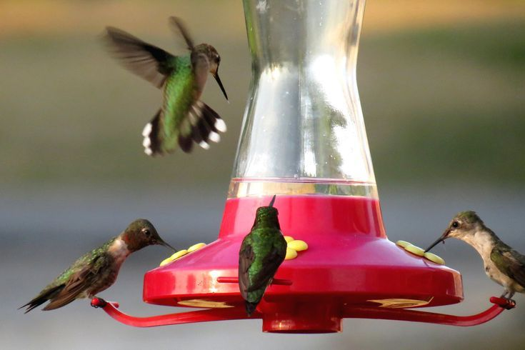 8 Easy Tips to Feed Hummingbirds in Your Backyard ...