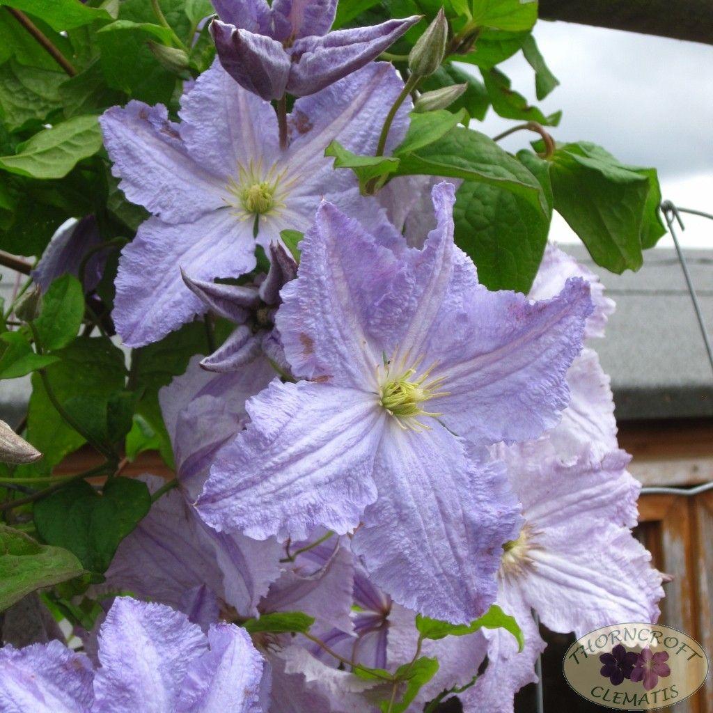 Blekitny aniol summer flowering blue clematis pinterest