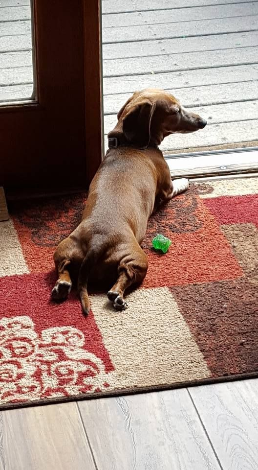 Relaxing In The Sun Doxie Style Dachshund Dog Minature Dachshund