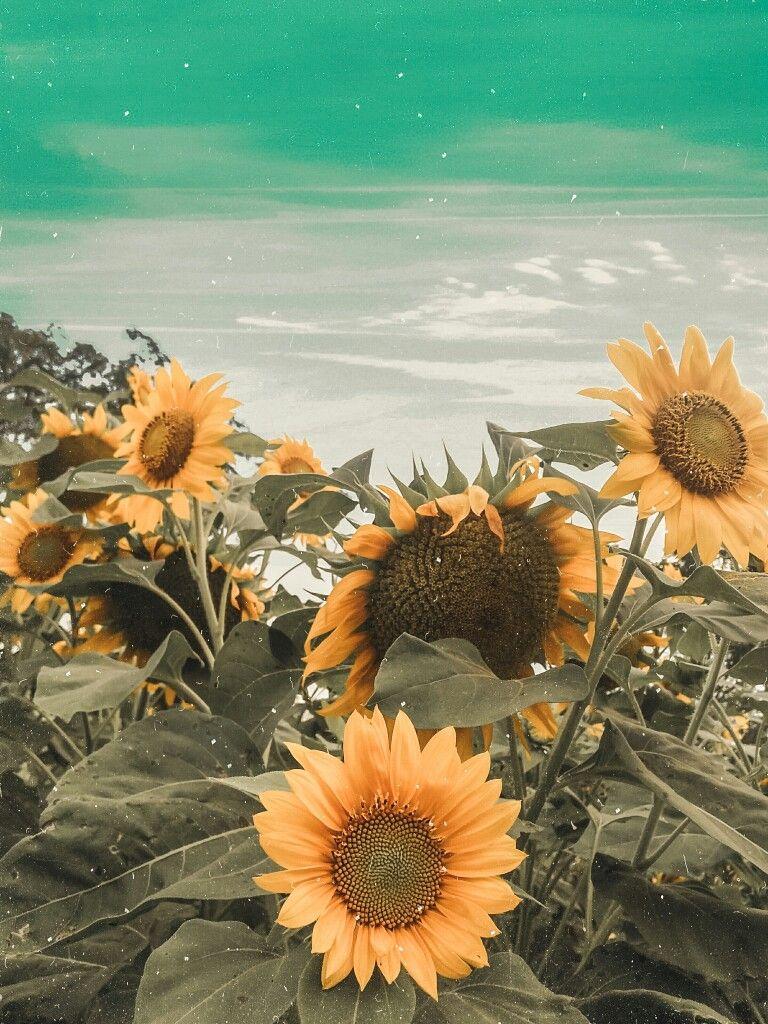 Bunga Matahari Lukisan Bunga Matahari Poster Bunga Wallpaper Bunga Matahari