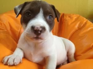 Adopt Saturday On American Staffordshire Terrier Terrier Dogs Villalobos Rescue Center