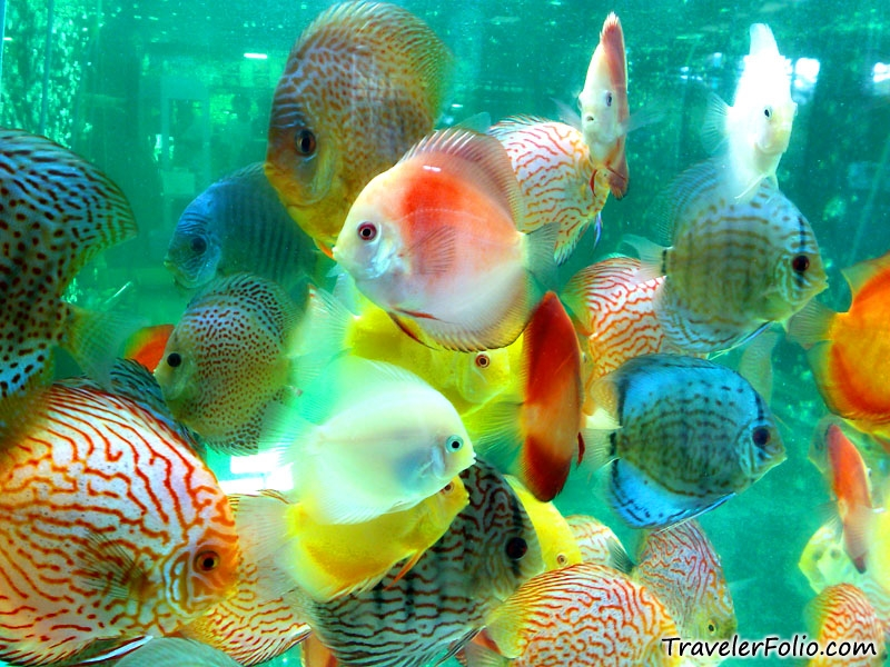 Discus is a beautiful fish aquarium freshwater and for Colorful freshwater fish