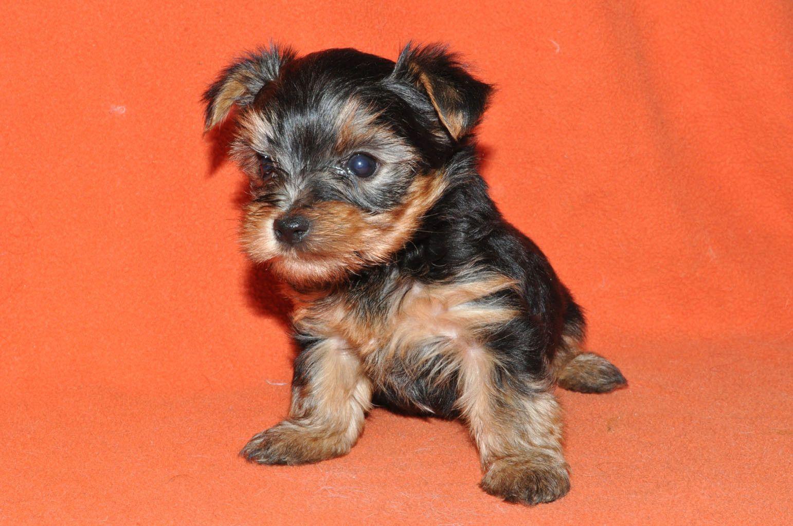 shih+poo+dogs+in+des+moines+iowa | shih/shih-tzu-zuchon-timbercreek-puppiesshihtzushichon-dog-breed-info ...
