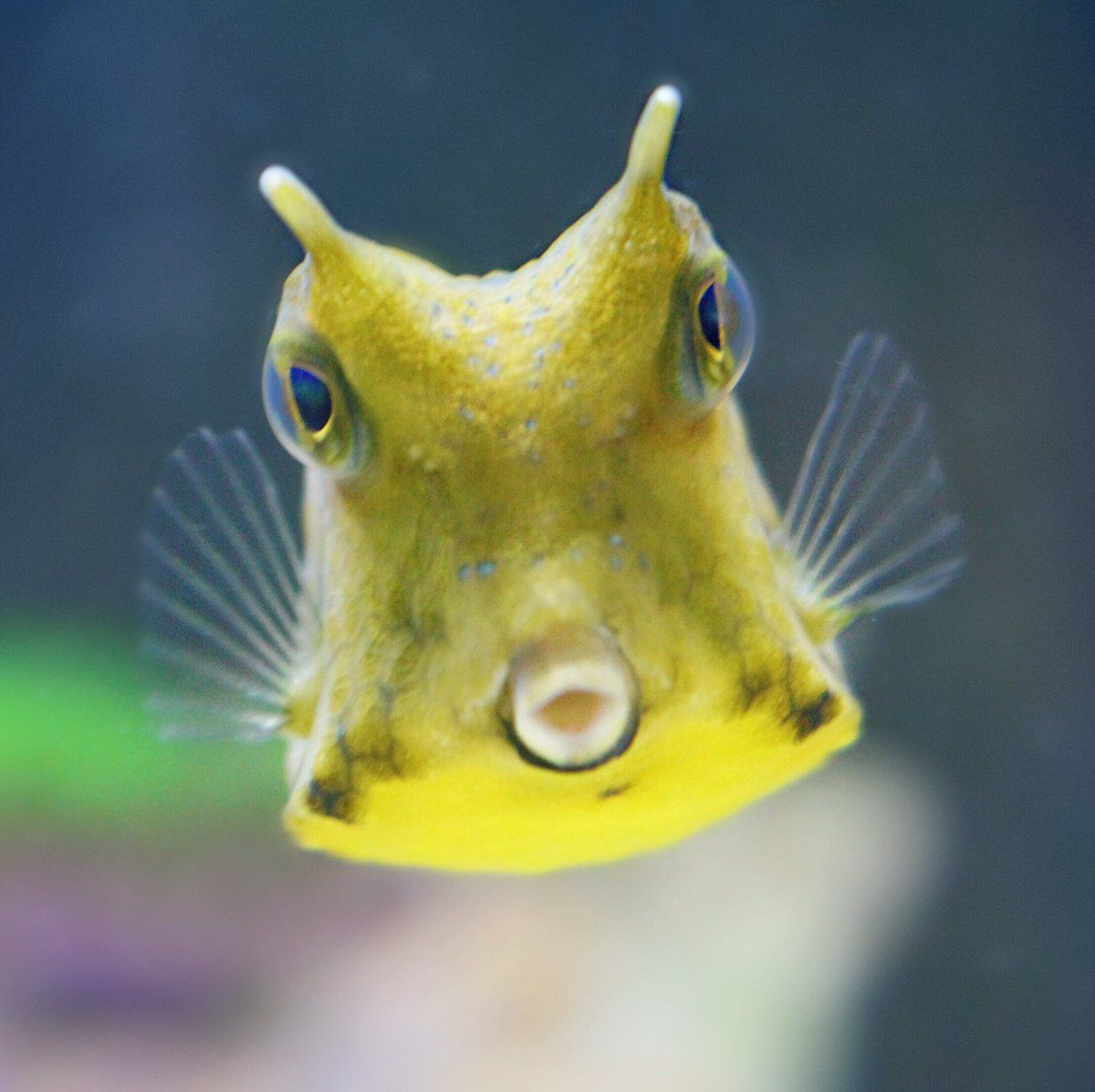This Is Cheese The Cowfish Http Ift Tt 2zkpoz9 Cow Fish Cute Small Animals Cute Fish