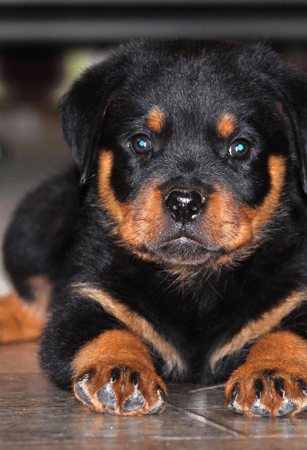 Melts My Heart 3 Rottweiler Puppies Dog Breeds Rottweiler Dog