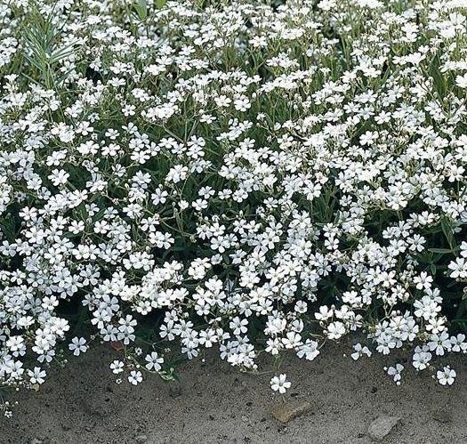 Plantas ornamentales rocalla y tapizantes todos los datos - Plantas de sol y sombra ...