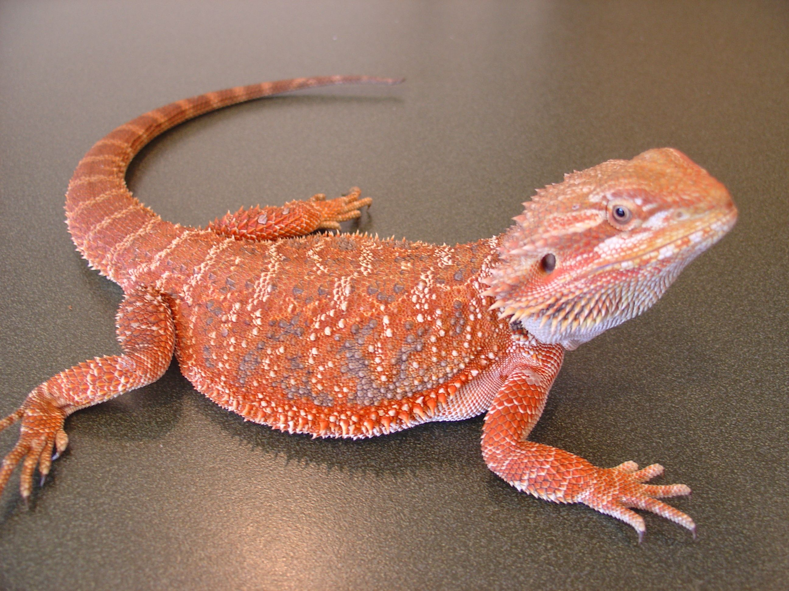 nutrition for bearded dragon lizards Nutrition plays a major part in  nutrition and mbd in lizards  there are a number of symptoms that can indicate your blue tongue or bearded dragon is suffering.