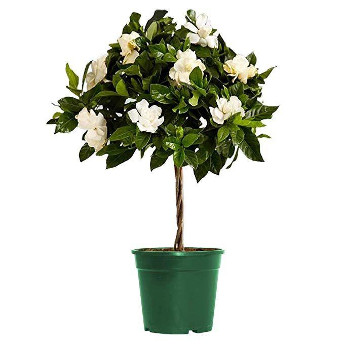 AMERICAN PLANT EXCHANGE Mini Gardenia Tree Miami Supreme