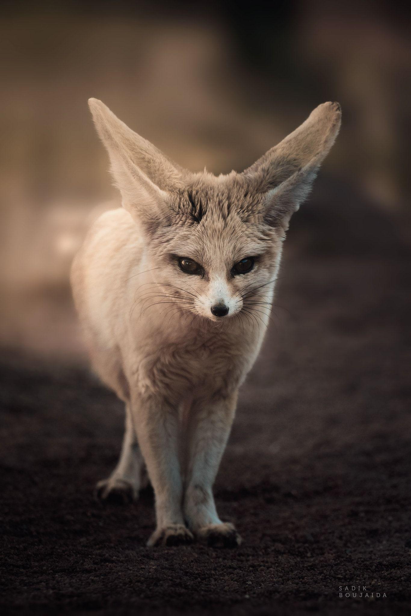 bat eared fox krefeld BB2A1431 | Bat eared fox, Baby
