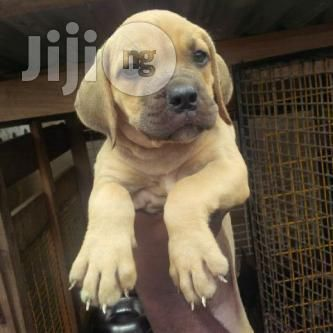 7weeks Old Boerboel Pups For Sale Dogs And Puppies For Sale In