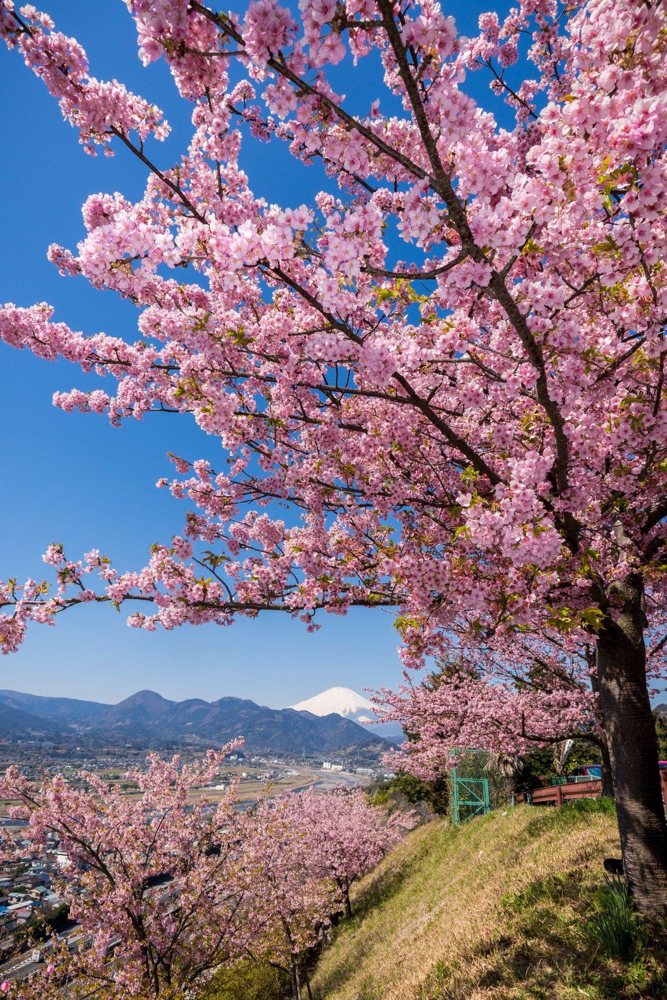 Mt Fuji And Cherry Blossom Blossom Trees Beautiful Nature Cherry Blossom