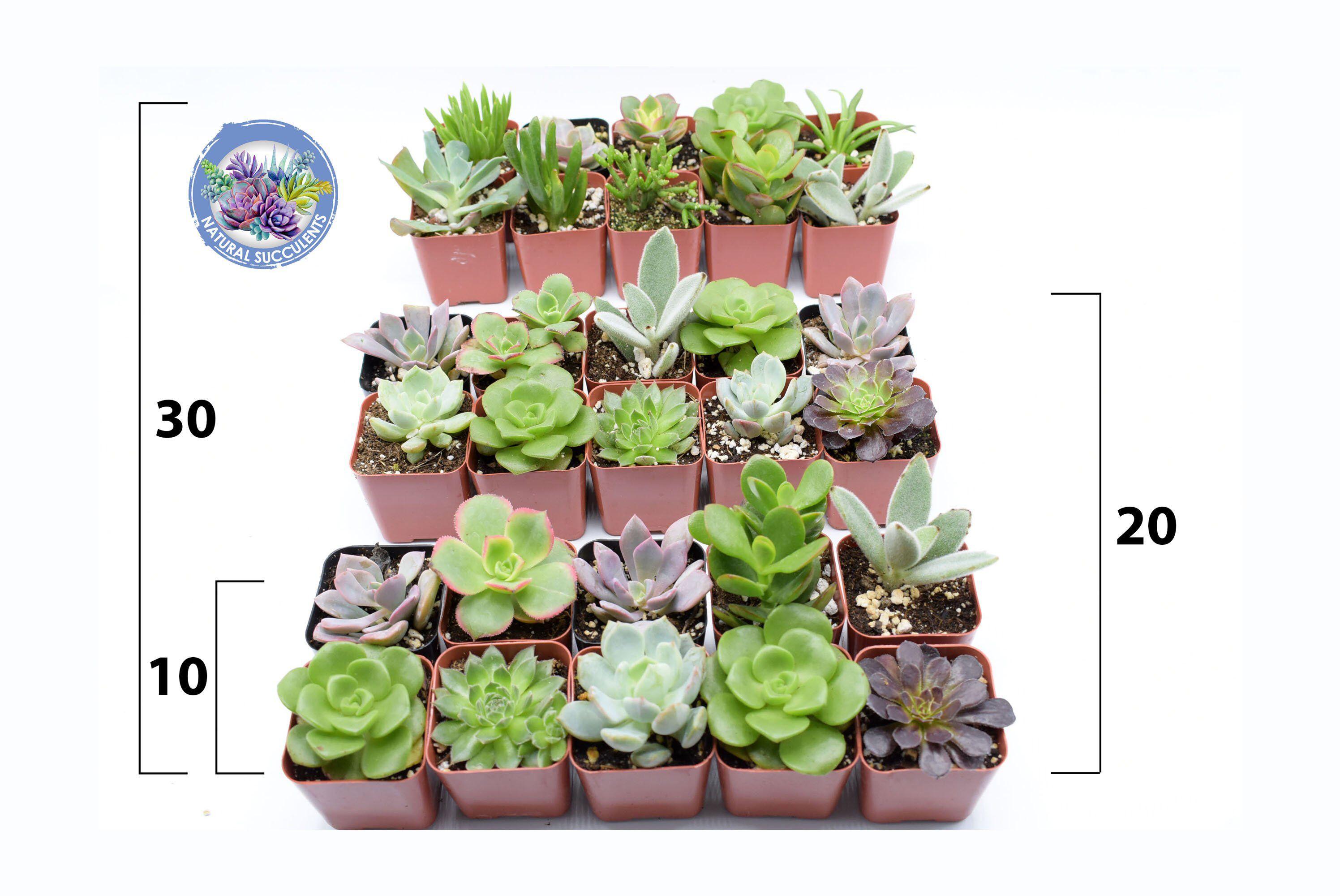 """10/20/30 Assorted 2"""" Pot Succulents Wedding favors"""