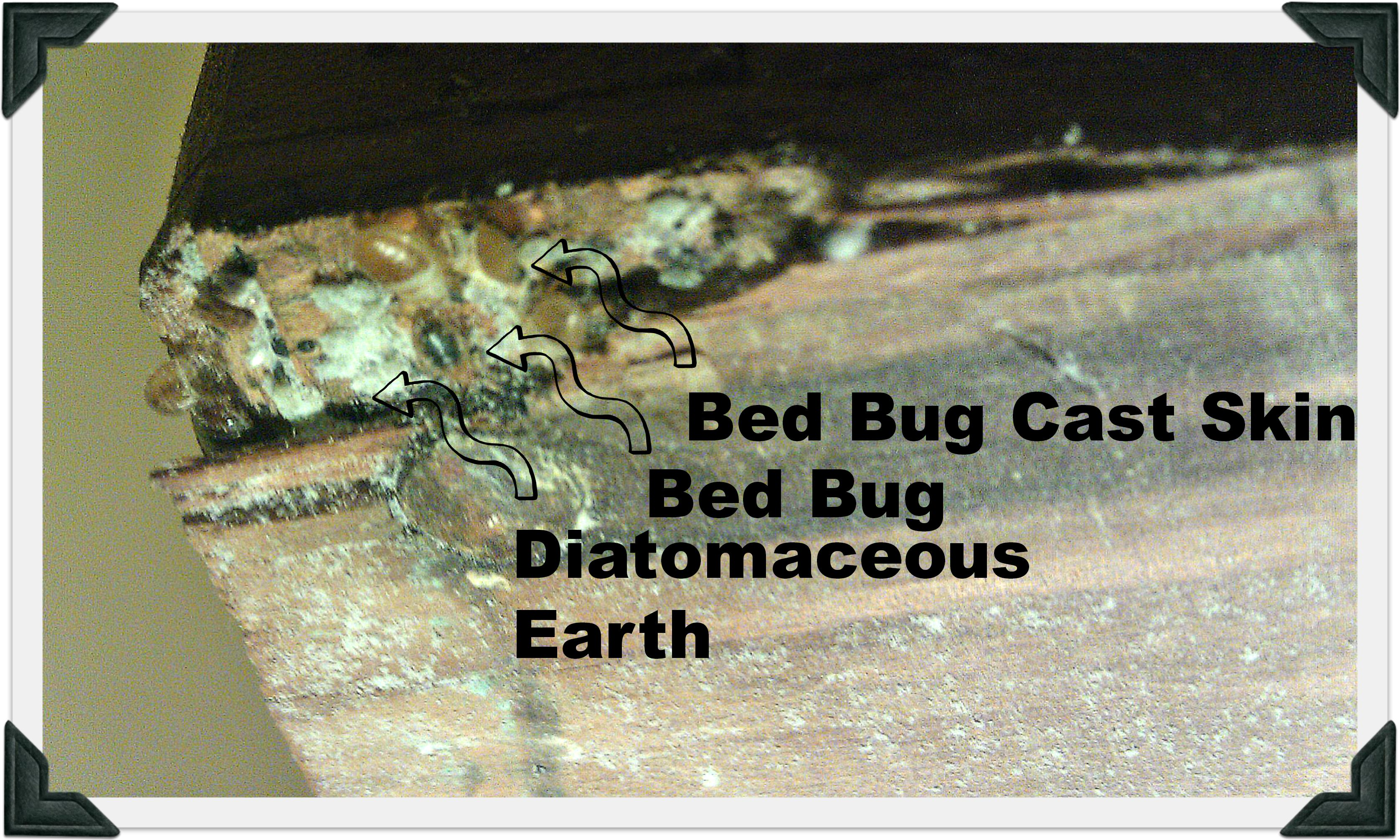 How Diatomaceous Earth Kills Bed Bugs Bed bugs, Bugs, It
