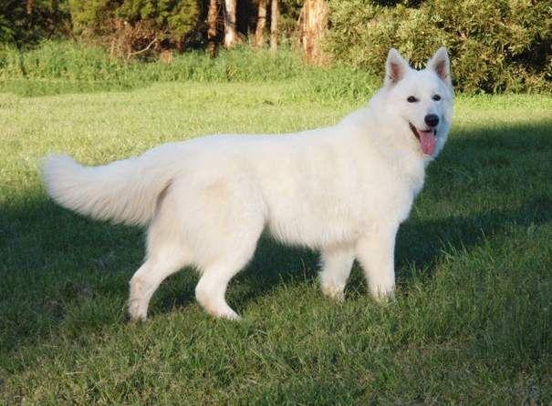 schweizer weißer schäferhund züchter in usa White Swiss