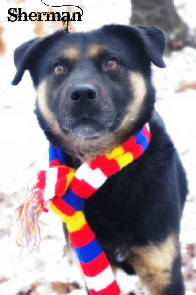 Adopt 20 Sherman 1 Adopted On Rottweiler Rottweiler Mix