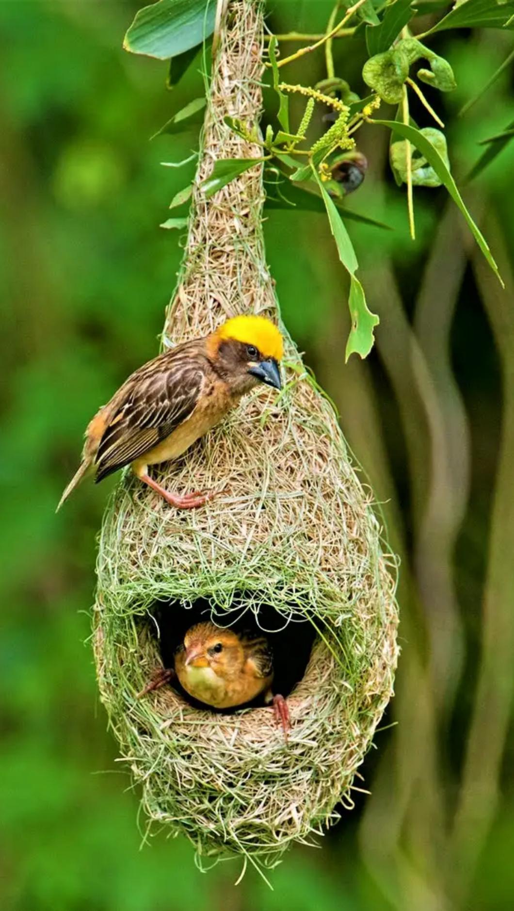 weaver birds | beautiful birds | Birds, Little birds, Bird ...
