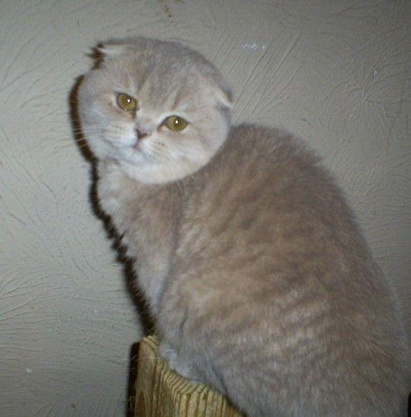 Lilac tabby Scottish Fold female Cat scottish fold, Cat