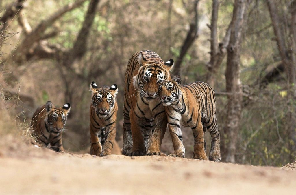 Indian tiger family © tigersintheforest Animals, Wild