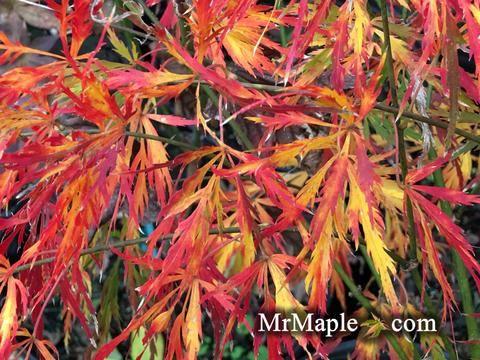 Acer palmatum 'Liberty Bell' Laceleaf Japanese Maple #japanesemaple