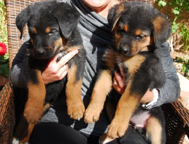 German Shepherd Rottweiler Mix Puppies Zoe Fans Blog