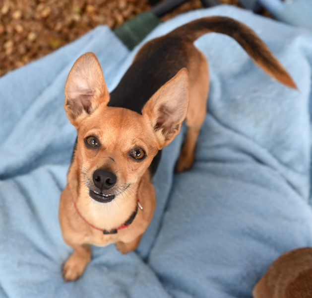 Chiweenie Dog For Adoption In Chattanooga Tn Adn 709664 On