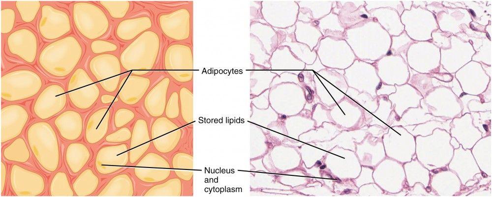 Adipose Tissue Slide Labeled