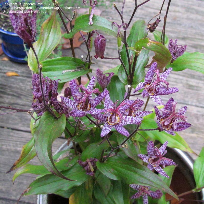 Rospi Giglio-Tricyrtis latifolia