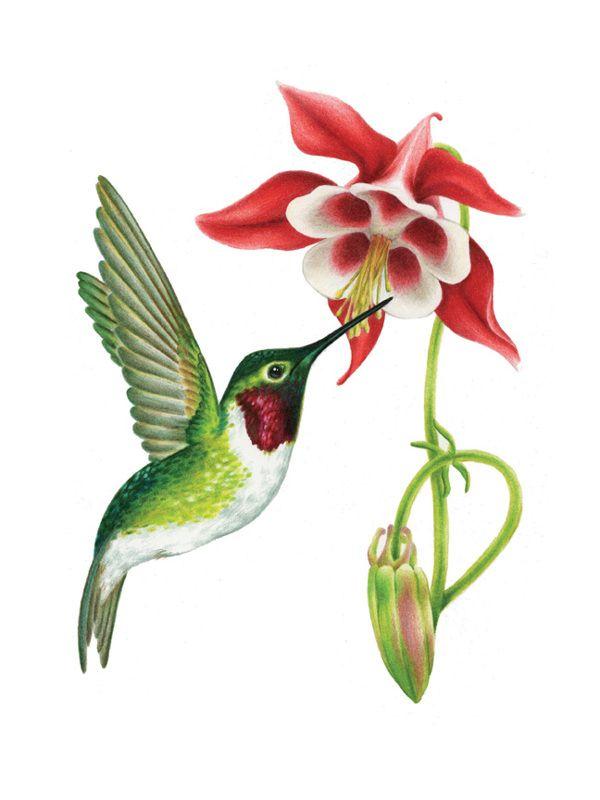 Ruby-Throated Hummingbird illustrations | Pencil Wildlife ...