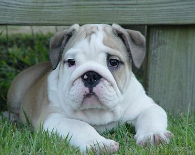 White Fawn English Bulldog Bulldog Puppies English Bulldog