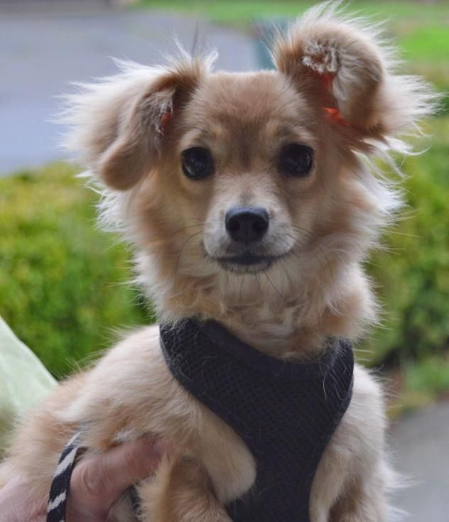 Adopt Cord on (With images) Chihuahua terrier mix