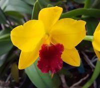 Orchids - Cattleya
