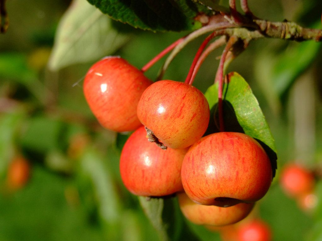 crab apple Yahoo Search Results Yahoo Image Search