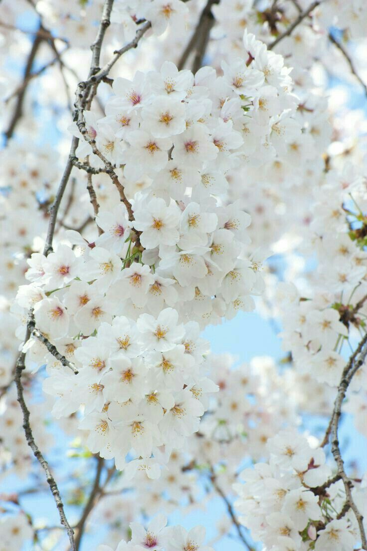 Spring White Flowers White Cherry Blossom Blossom Trees