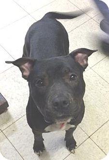 Cleveland Oh Terrier Unknown Type Medium Plott Hound Mix Meet Elektra A Dog For Adoption Http Www Adoptapet Com Pet 12818 Dog Adoption Pets