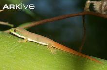 Phelsuma vanheygeni juvenile close up