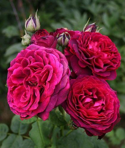 rose astrid grafin von hardenberg tantau flowers. Black Bedroom Furniture Sets. Home Design Ideas