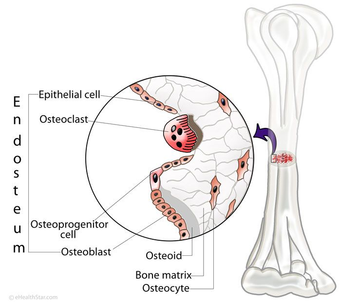 Endosteum location, structure and function. http://ehealthstar.com ...