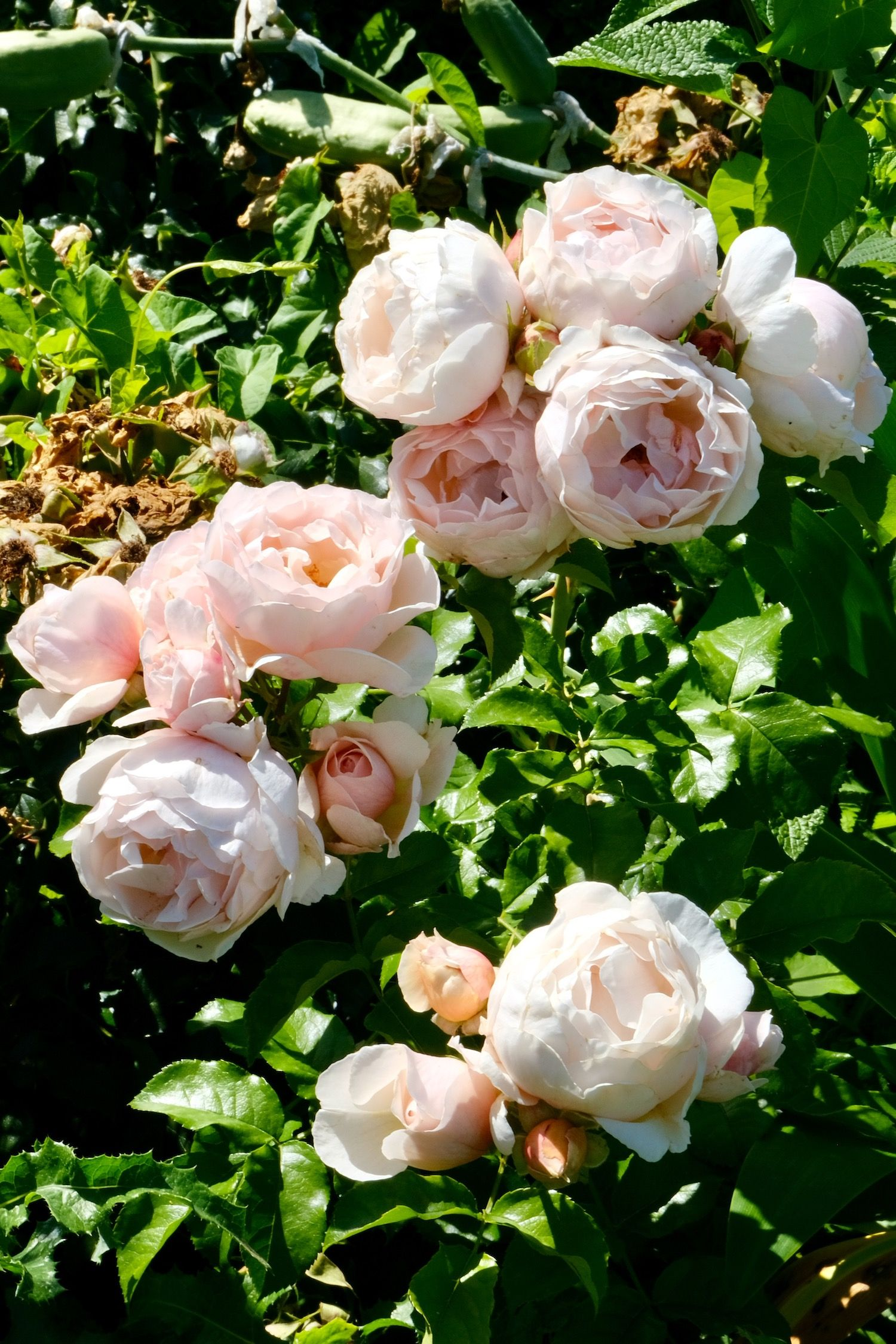 These light pink garden roses in the Jardin des Tuileries in Paris are just gorgeous. One of the best parts of Paris in June is seeing all of the roses #Paris #RosesParis #ParisRoses #GardenRoses #PinkGardenRoses #PalePinkRoses #PalePinkGardenRoses #PetalPinkRoses #PetalPinkGardenRoses #RosesInParis #ParisInJune #JardinDesTuileries #TuileriesGardenRoses #JardinDesTuileriesRoses