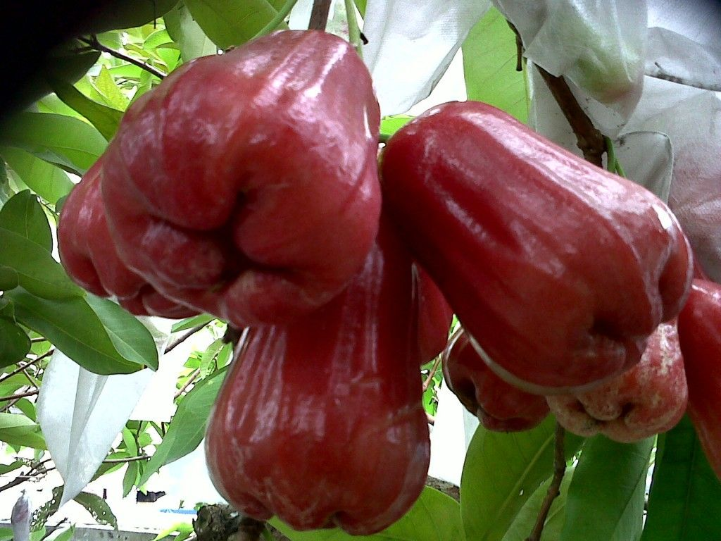 Citra Water Apple Jambu Air Citra