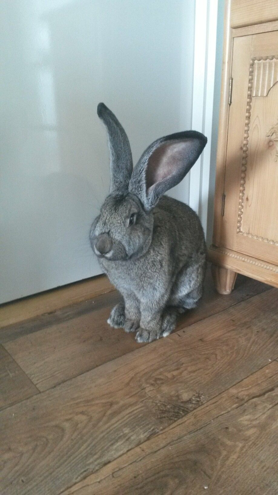 James 8 Months Old Flemish Giant Giant Rabbit Flemish