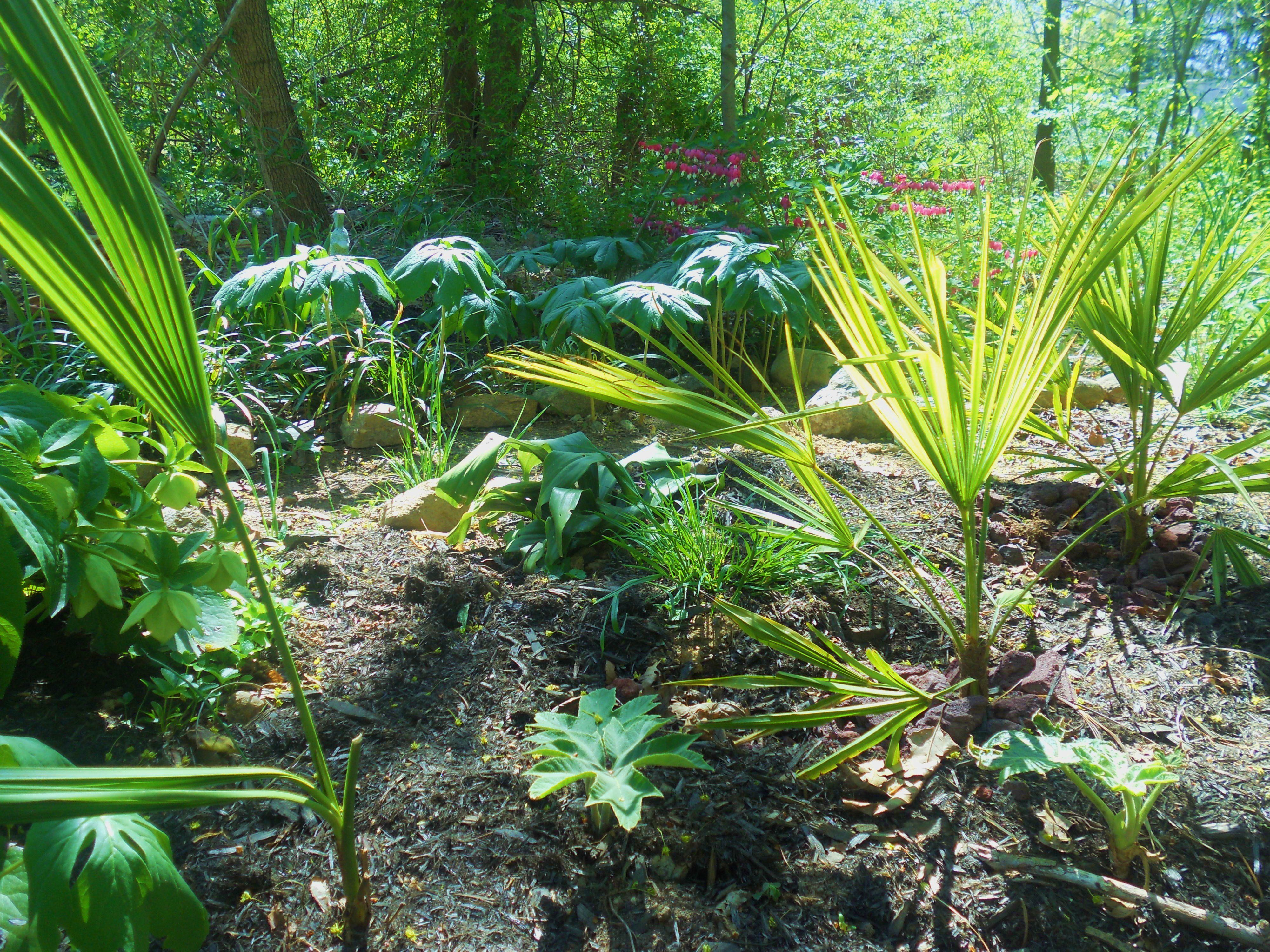 How To Grow Hardy Palm Trees Outside In Zone 5 6 And 7