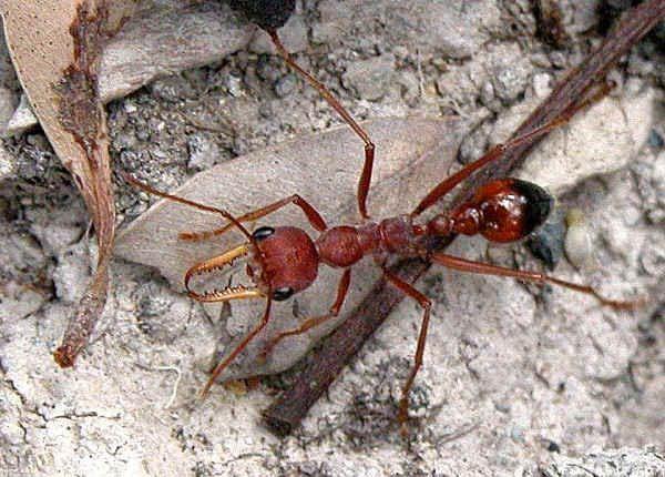 Myrmecia Often Called Bulldog Ants Bull Ants Inch Ants