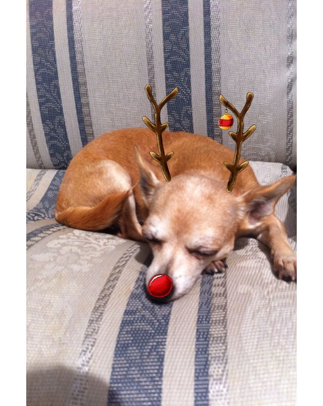 The Red Nosed Chihuahua Looks Like My Paisley Chihuahua Funny