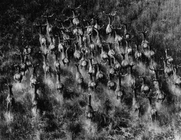 Walter Hege – Flüchtende Rentiere, 1950-59