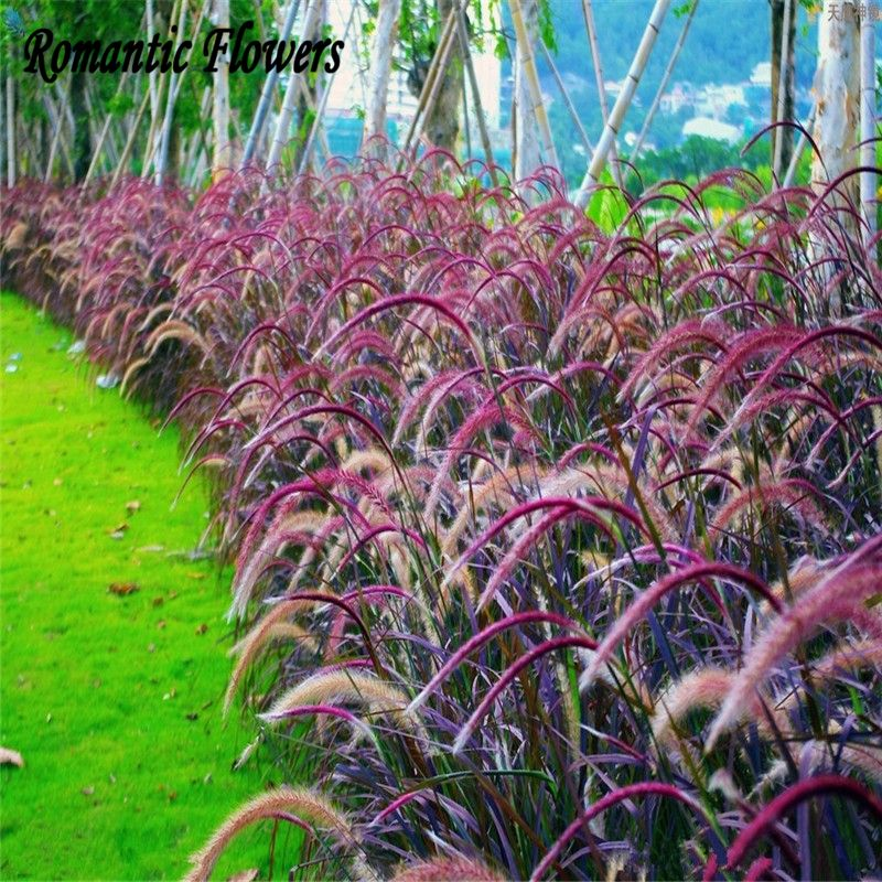Pennisetum for Fountain grass varieties